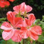 Lachsorange panaschierte Blüte