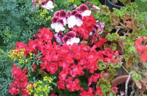 Pelargonien im Garten