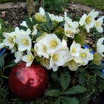 Christrose im Keramiktopf