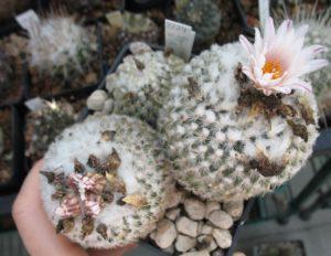 Gymnocactus Hybride