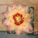 Hamatocactus setispinus Hybride