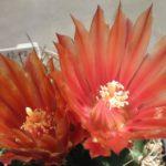 Horridocactus curvispinus