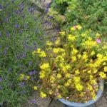 Lavendel und Mauerpfeffer