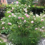 Rosen im Rondell