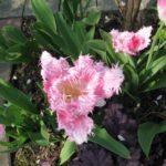 Tulpen rosa