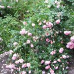 Üppige Rosenblüte