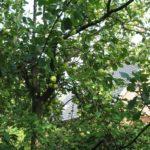 Apfelbaum Cox Orange