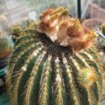 Eriocephala schumanniana Samen