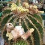 Eriocephala warasii 40 Jahre