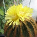 Eriocephala warasii Altpflanze