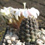 Mediolobivia leucanthema WR305
