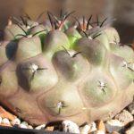 Neochilenia huascensis