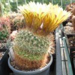 Notocactus agnetae var. minor UR⁄Maldonado (Gerloff) (DV 8⁄b)