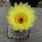 Notocactus concinnus RH1401