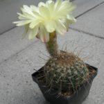 Notocactus concinnus spec. CWP3