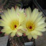 Notocactus concinnus v. durispinus
