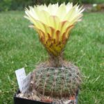 Notocactus concinnus v. gibberulus AH200