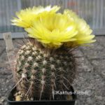 Notocactus mueller-melchersii var. eugeniae