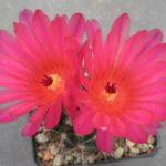 Notocactus submammulosus rubriflorus STO372