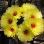 Notocactus tabularis