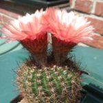 Notocactus tabularis v. PinkFlower von W.Prauser (Hybride)