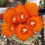 Parodia Blütenfülle