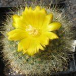 Parodia chrysacanthion (Hybride)