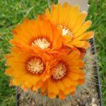 Parodia herzogii orange