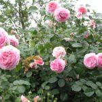 Rose an der Terrasse