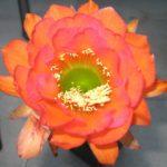 TH Orange mit Rosa