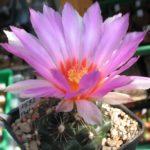 Thelocactus bicolor v. commodus Monclova