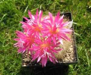 Neoporteria multicolor