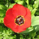 Tulpe im Bärlauchbeet