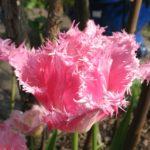 Gezackte Tulpe