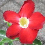 Adenium Hybride