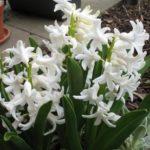 Weiße Hyazinthen