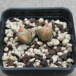 Conophtum frutescens