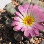 Frithia pulchra im August