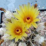 Notocactus submammulosus