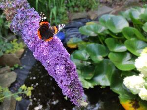 Schmetterlingsflieder am Teich