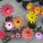 Echinopsis- und Trichocereus-Hybriden