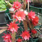Epiphyllum ackermannii in Blüte